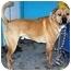 Photo 2 - Boxer/Labrador Retriever Mix Dog for adoption in YERINGTON, Nevada - CONEY