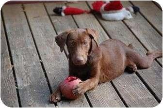 Labrador Retriever Puppy for adoption in Cumming, Georgia - Ariel