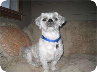 Lhasa Apso Dog for adoption in Mount Kisco, New York - Max