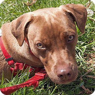 American Pit Bull Terrier/Beagle Mix Dog for adoption in Berkeley, California - Girlie
