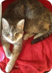 Calico Cat for adoption in Acushnet, Massachusetts - Athena