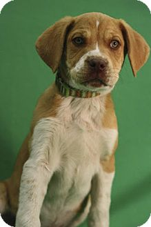 Shepherd (Unknown Type)/Labrador Retriever Mix Puppy for adoption in Broomfield, Colorado - NutterButter