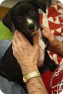Labrador Retriever Mix Puppy for adoption in Nashville, Tennessee - Jazz