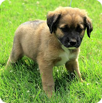 St. Bernard/German Shepherd Dog Mix Puppy for adoption in Brattleboro, Vermont - Liam