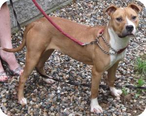 Boxer/Labrador Retriever Mix Dog for adoption in Bloomfield, Connecticut - Banana Split