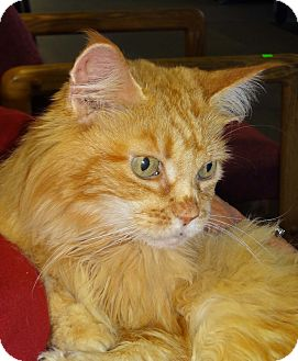 Domestic Mediumhair Cat for adoption in N. Billerica, Massachusetts - Noelle
