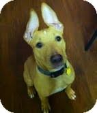 Shepherd (Unknown Type) Mix Puppy for adoption in Dayton, Ohio - Andy