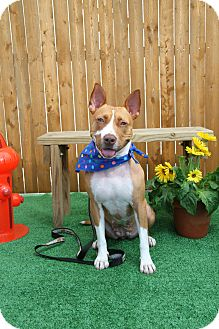 American Staffordshire Terrier/Boxer Mix Dog for adoption in Oberlin, Ohio - FOXY