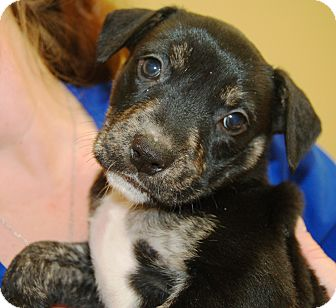 Pit Bull Terrier/German Shepherd Dog Mix Puppy for adoption in Allentown, Pennsylvania - Reeses (Reduced Adoption Fee)