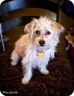 Cairn Terrier/Dachshund Mix Puppy for adoption in Orange, California - Lacy