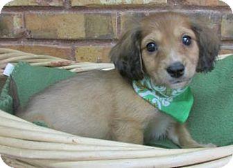 Dachshund Mix Puppy for adoption in Benbrook, Texas - Kade