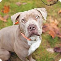 Adopt A Pet :: BOSCO - Kingston, WA