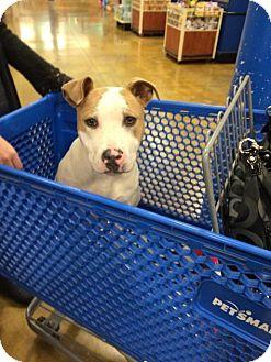 Mastiff/Pit Bull Terrier Mix Dog for adoption in Sacramento, California - Kieva