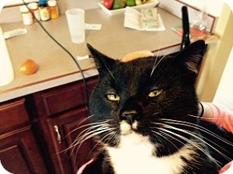 Domestic Shorthair Cat for adoption in Troy, Ohio - Boots