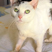 Domestic Shorthair Cat for adoption in New York, New York - Fifi