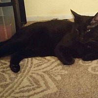 Domestic Shorthair Cat for adoption in Fort Worth, Texas - Maximus