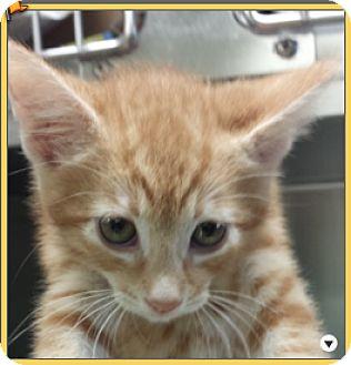 Domestic Shorthair Kitten for adoption in Tiburon, California - Iago