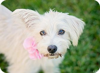 Terrier (Unknown Type, Small) Mix Dog for adoption in Kingwood, Texas - Shirley Temple