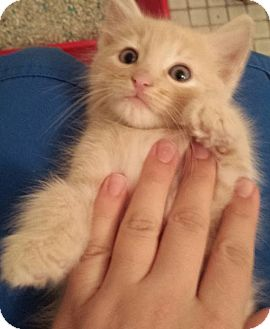 Domestic Shorthair Kitten for adoption in Gainesville, Florida - Dreamsicle