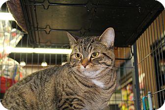 Domestic Shorthair Cat for adoption in Hamilton., Ontario - kelli