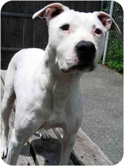 American Staffordshire Terrier/American Pit Bull Terrier Mix Dog for adoption in Portsmouth, Rhode Island - Lucy URGENT