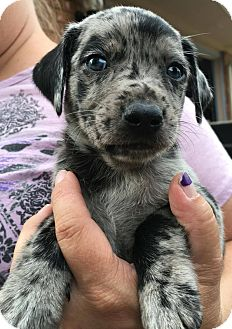 Dachshund/Australian Shepherd Mix Puppy for adoption in Savannah, Georgia - Buddy