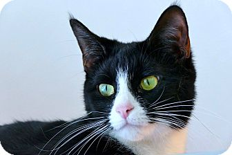 Domestic Shorthair Cat for adoption in Victor, New York - Stevie