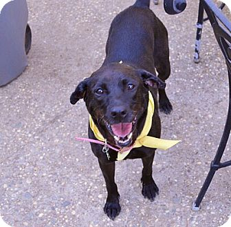 Labrador Retriever Mix Dog for adoption in Deer Park, New York - Alice