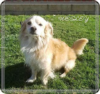 Cocker Spaniel/Dachshund Mix Dog for adoption in Newport Beach, California - Wesley