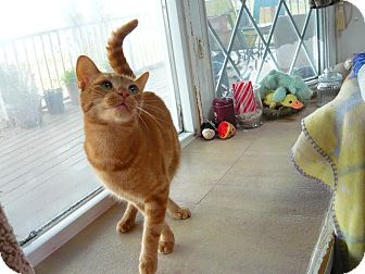 Domestic Shorthair Cat for adoption in Lindsay, Ontario - Tiger