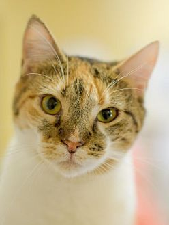 Domestic Shorthair Cat for adoption in Auburn, California - Venus