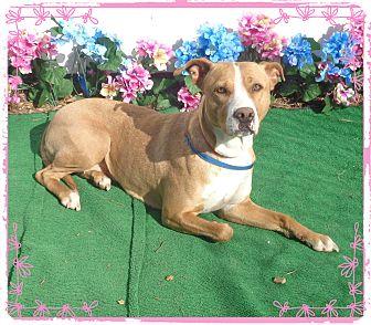 Labrador Retriever Mix Dog for adoption in Marietta, Georgia - TULIP(R)