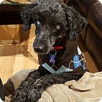 Adopt A Pet :: Bitsy - Troy, MI