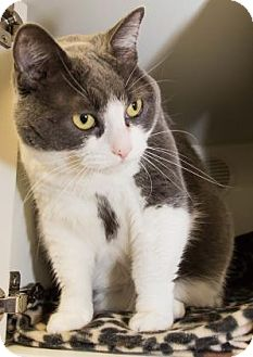 Domestic Shorthair Cat for adoption in Lowell, Massachusetts - Autumn
