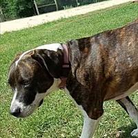 American Bulldog Mix Dog for adoption in Greece, New York - Champ