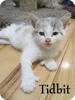 Domestic Shorthair Kitten for adoption in Flint HIll, Virginia - Tidbit