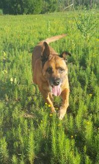 Shepherd (Unknown Type) Mix Dog for adoption in Bartlesville, Oklahoma - Maggie
