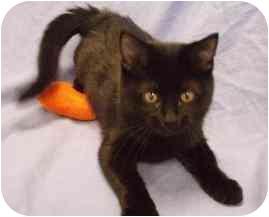 Domestic Shorthair Kitten for adoption in Walker, Michigan - Pooky