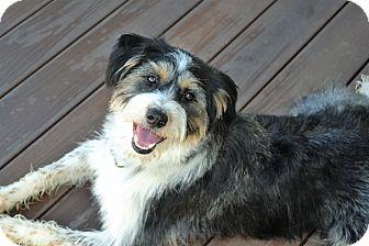 Tibetan Terrier/Australian Shepherd Mix Dog for adoption in Upper Marlboro, Maryland - Griffon