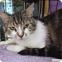 Domestic Shorthair Cat for adoption in Westchester, California - Heidi