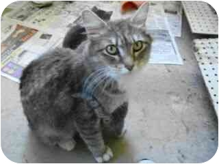 Domestic Mediumhair Cat for adoption in Richland Center, Wisconsin - Ms Kitty