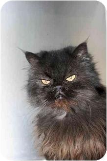 Persian Cat for adoption in Saint Charles, Missouri - Ambrosia
