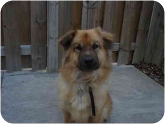 Collie/Chow Chow Mix Dog for adoption in Cleveland, Ohio - Chester