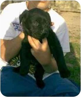 Retriever (Unknown Type) Mix Puppy for adoption in Oxford, Michigan - Autumn