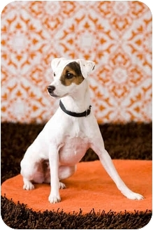 Jack Russell Terrier Dog for adoption in Portland, Oregon - Daisy