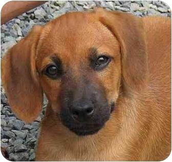 Hound (Unknown Type)/Beagle Mix Puppy for adoption in Pittsboro/Durham, North Carolina - Peanut