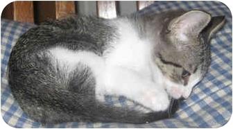 Domestic Shorthair Kitten for adoption in Mt. Prospect, Illinois - Cutie