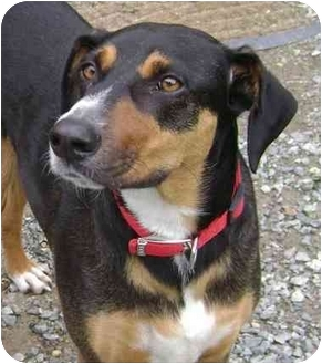 Doberman Pinscher/Hound (Unknown Type) Mix Dog for adoption in Greensboro, North Carolina - Cleo