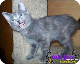 Domestic Shorthair Kitten for adoption in Cedar Creek, Texas - Trixie