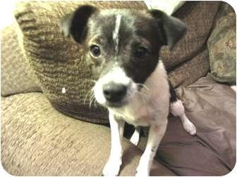 Rat Terrier Mix Puppy for adoption in Phoenix, Arizona - Simba